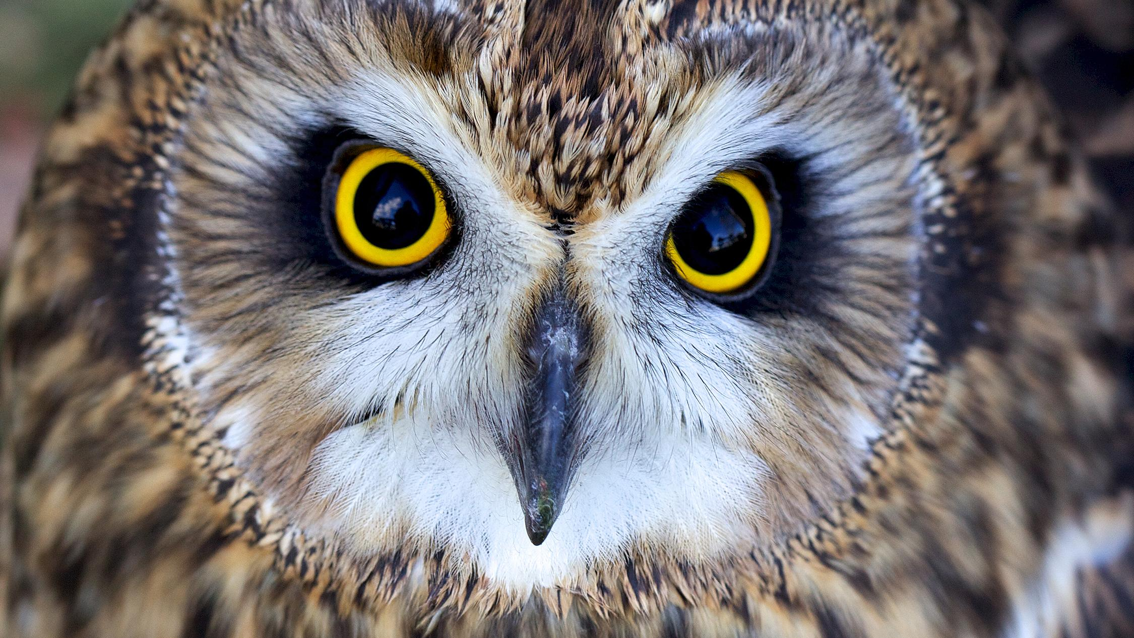 Night stalker: owls' concave faces act like a satellite dish